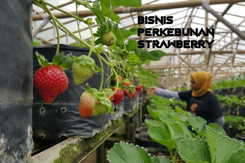 Bisnis Perkebunan Strawberry